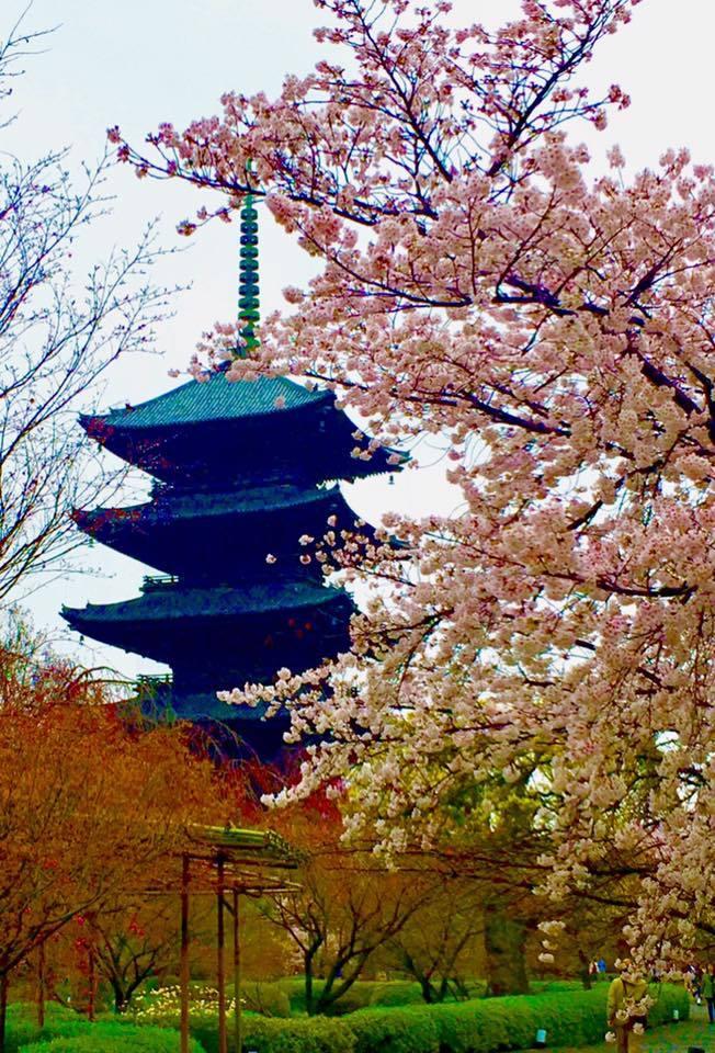 桜雨の東寺でお花見🎶_a0138976_16112840.jpg
