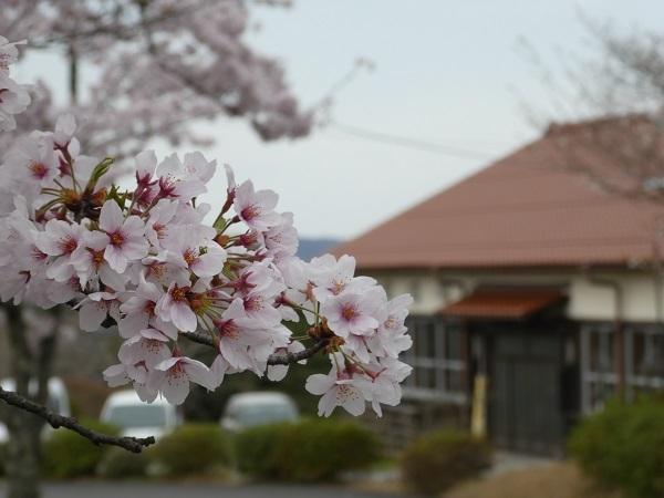 島根県木次の桜_e0365880_21233892.jpg