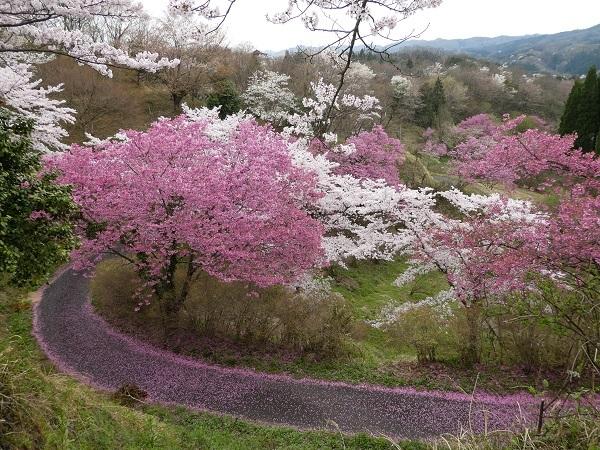 島根県木次の桜_e0365880_21312801.jpg