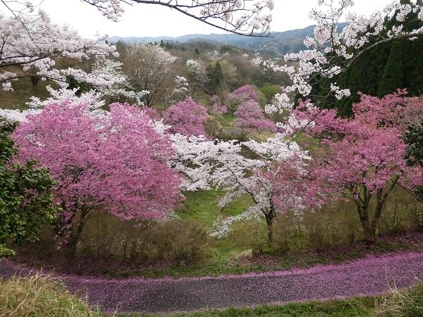 島根県木次の桜_e0365880_21314906.jpg