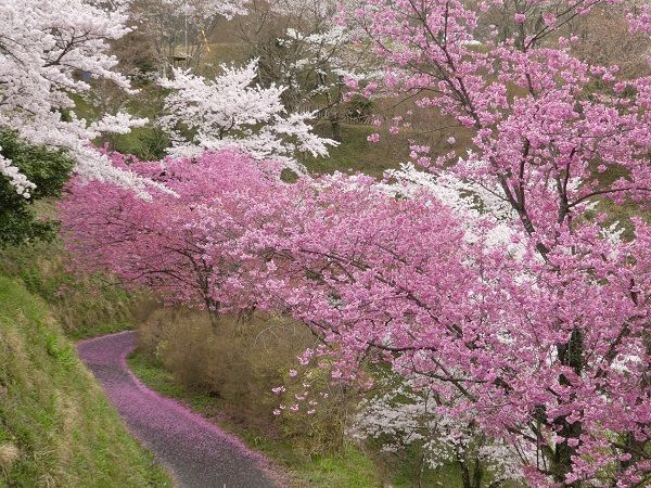 島根県木次の桜_e0365880_21330084.jpg