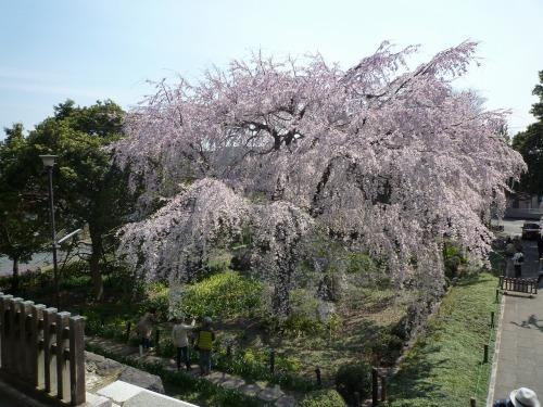 絶好の桜見_a0262093_17391716.jpg
