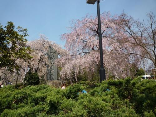 絶好の桜見_a0262093_18450587.jpg
