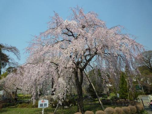 絶好の桜見_a0262093_18454129.jpg