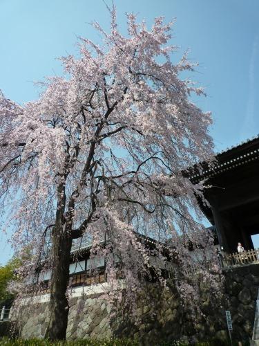 絶好の桜見_a0262093_18471774.jpg