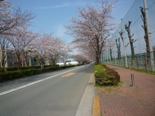 絶好の桜見_a0262093_19030076.jpg
