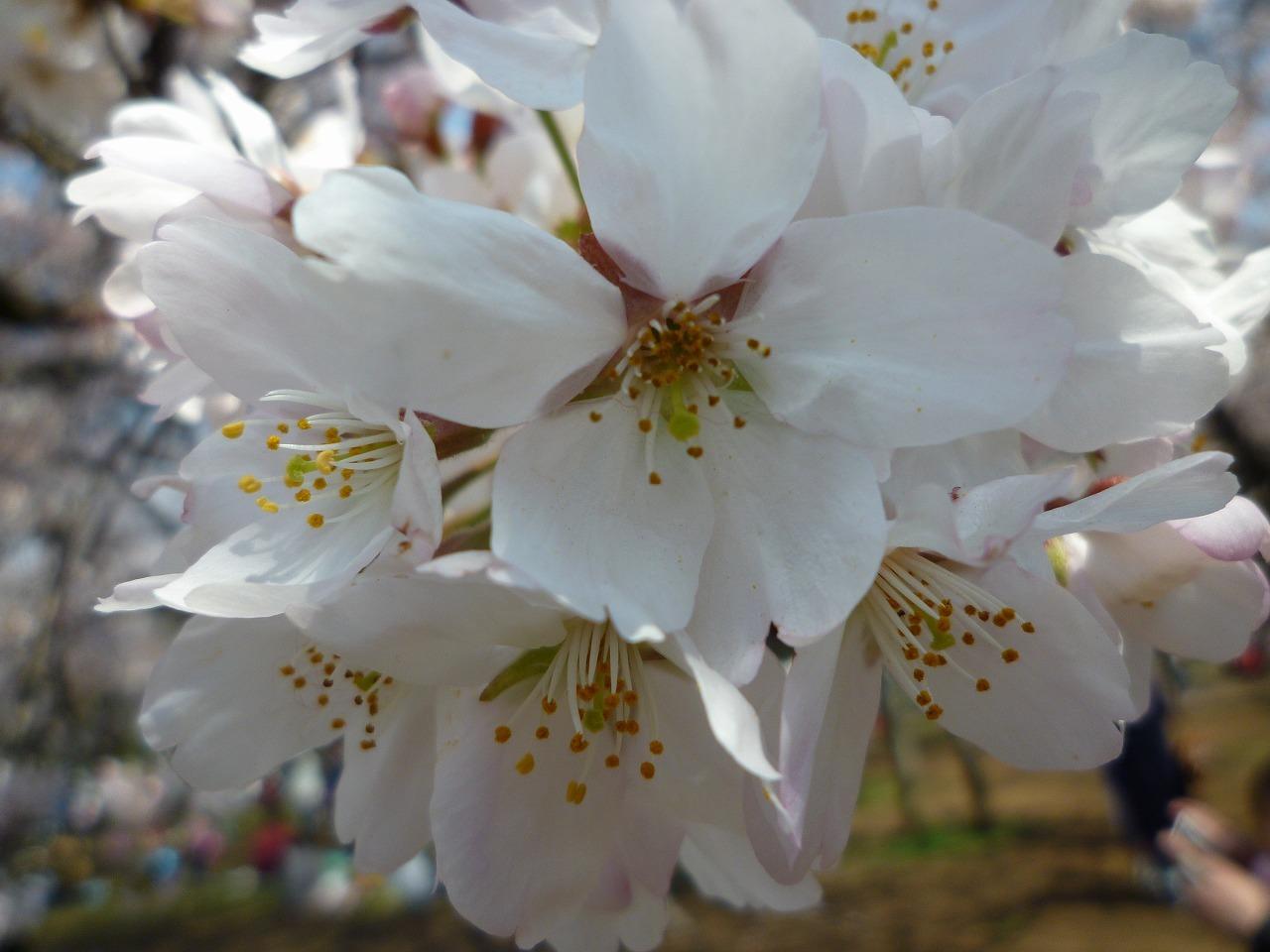 絶好の桜見_a0262093_19064575.jpg