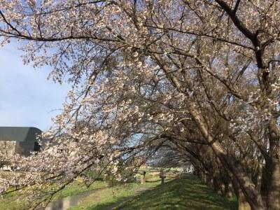 桜の開花_a0131903_18170225.jpg