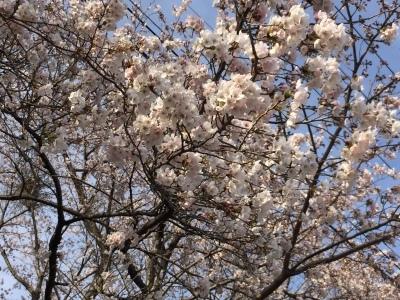 桜の開花_a0131903_18170931.jpg