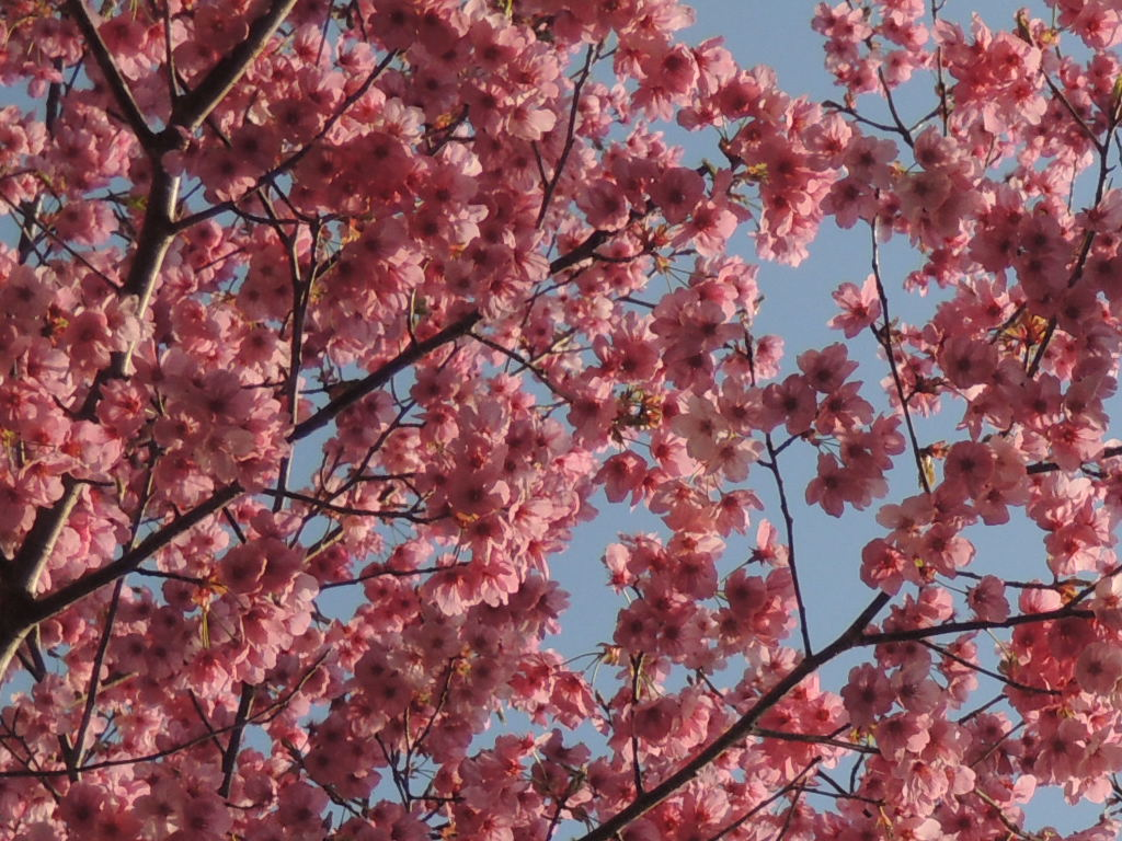 桜_b0287904_21101999.jpg