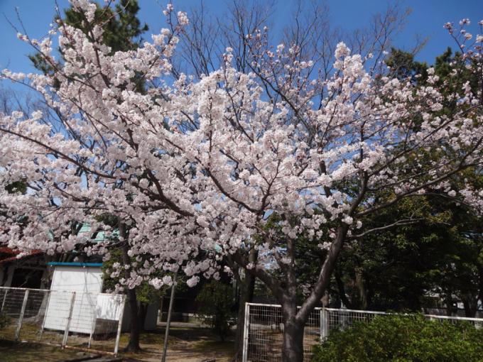 お花見(*^^*)_f0170422_08540876.jpg