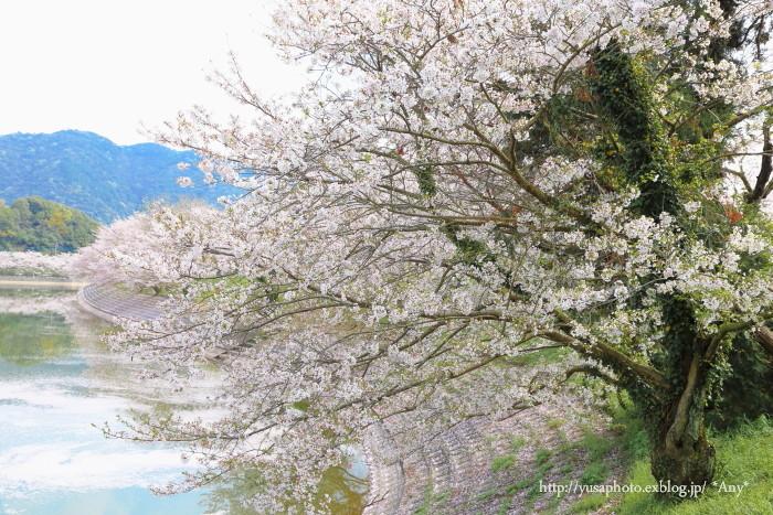 桜だから_e0347431_20011702.jpg