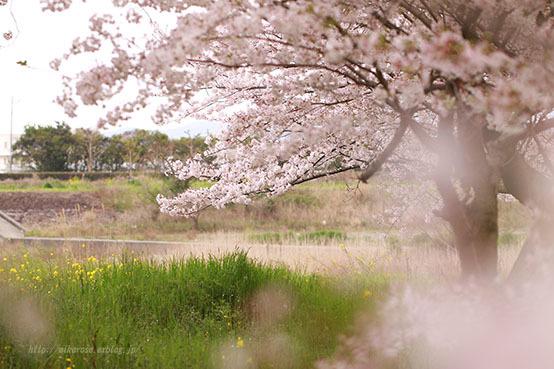 悲しい桜_a0264538_23260991.jpg