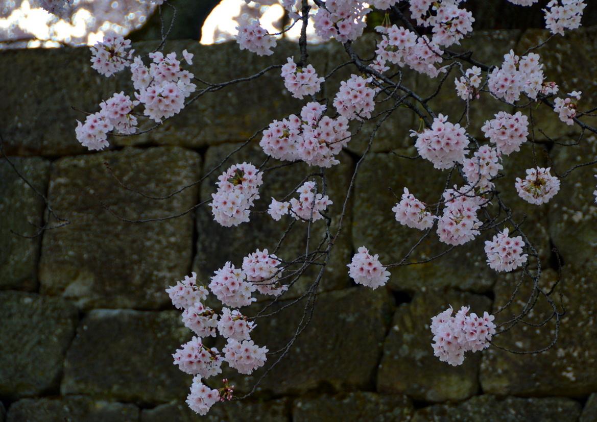お堀の桜2017_c0306646_12154604.jpg