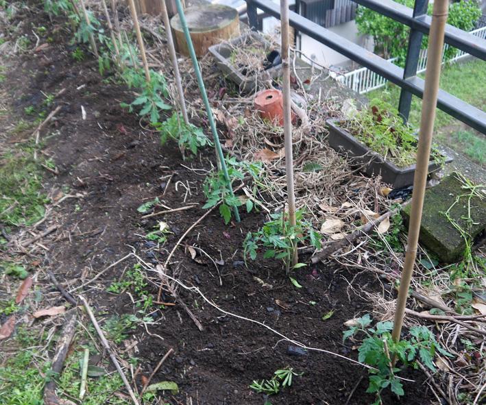 昨年より4日早くトマトの苗木を植え付け(2017・4・12)_c0014967_18305332.jpg