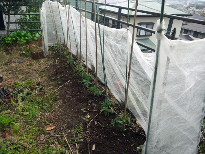 昨年より4日早くトマトの苗木を植え付け(2017・4・12)_c0014967_18312846.jpg