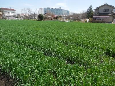 春の小麦畑_c0332682_23010426.jpg