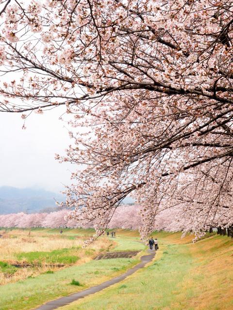 清雲寺の枝垂れ桜_d0358793_00040210.jpg