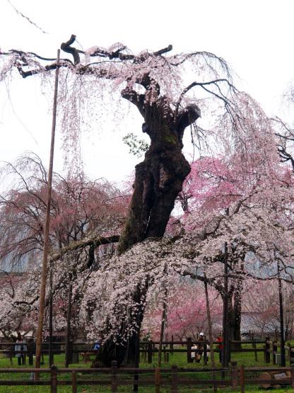 清雲寺の枝垂れ桜_d0358793_00194974.jpg