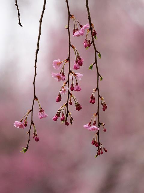 清雲寺の枝垂れ桜_d0358793_00303212.jpg