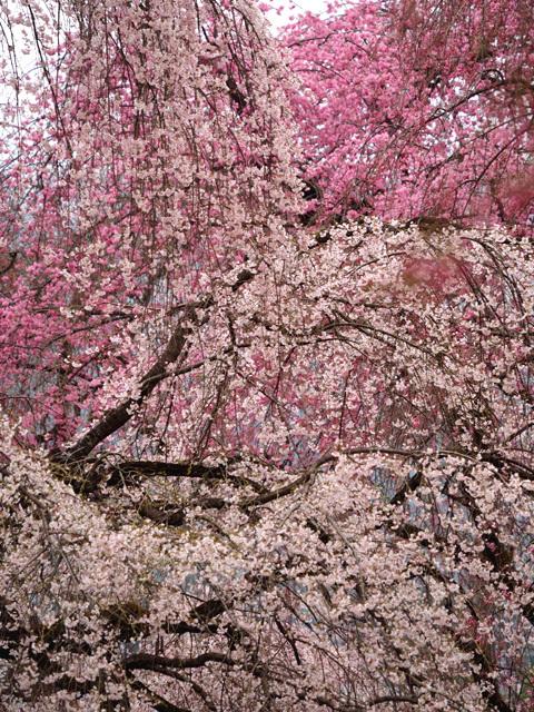 清雲寺の枝垂れ桜_d0358793_00341563.jpg