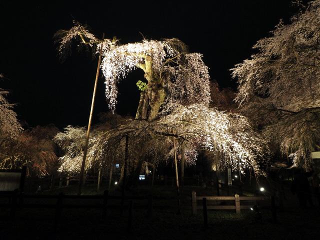 清雲寺の枝垂れ桜_d0358793_00542554.jpg