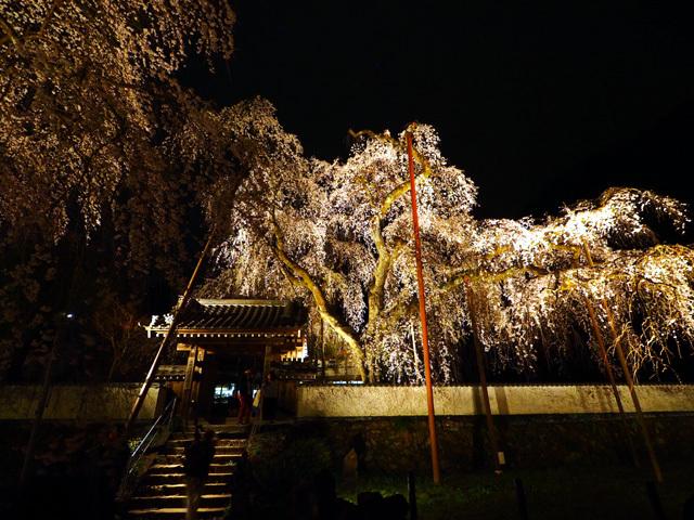 清雲寺の枝垂れ桜_d0358793_00552893.jpg