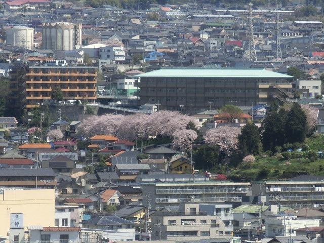 桜がやっと満開 でも今日あたりから「落花盛ん」?_f0141310_07554021.jpg