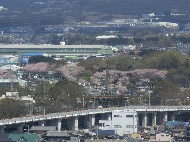 桜がやっと満開 でも今日あたりから「落花盛ん」?_f0141310_07554746.jpg