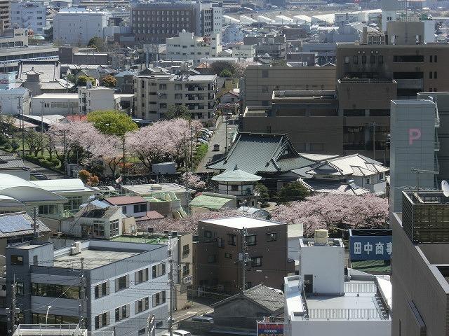 桜がやっと満開 でも今日あたりから「落花盛ん」?_f0141310_07555595.jpg