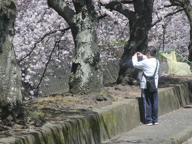桜がやっと満開 でも今日あたりから「落花盛ん」?_f0141310_07561760.jpg