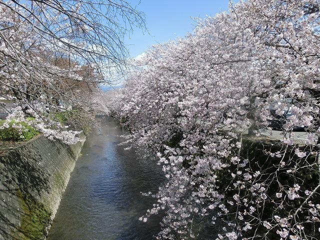 桜がやっと満開 でも今日あたりから「落花盛ん」?_f0141310_07562654.jpg