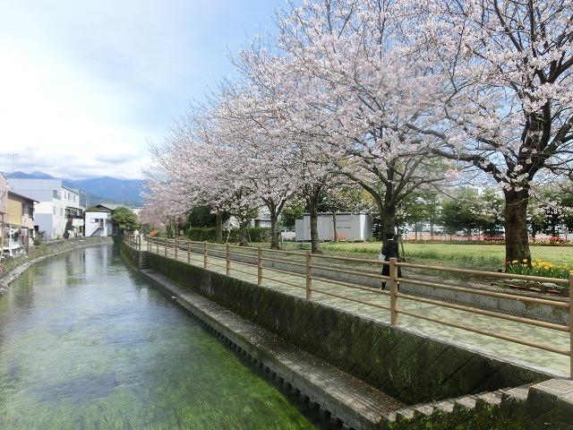 桜がやっと満開 でも今日あたりから「落花盛ん」?_f0141310_07563415.jpg