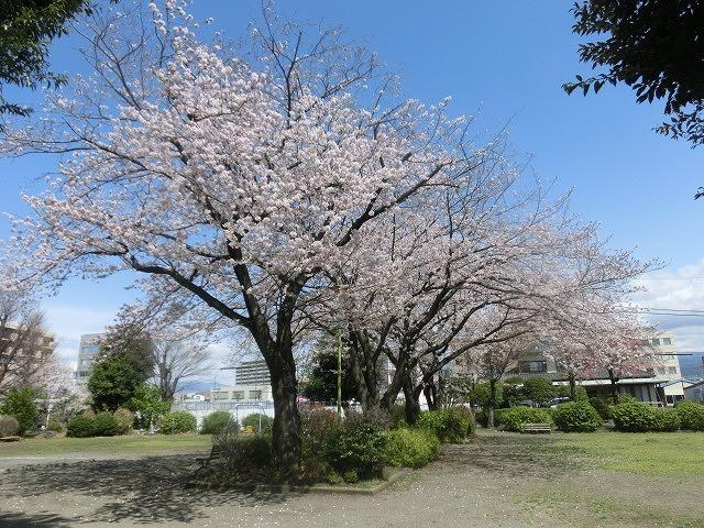 桜がやっと満開 でも今日あたりから「落花盛ん」?_f0141310_07564807.jpg