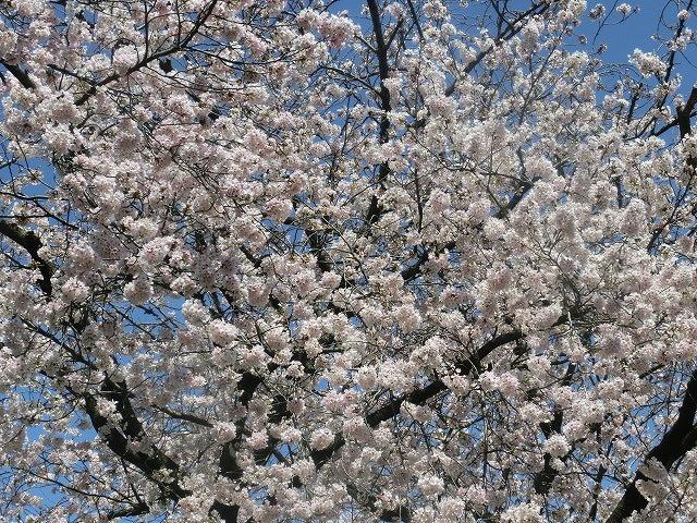 桜がやっと満開 でも今日あたりから「落花盛ん」?_f0141310_07580769.jpg