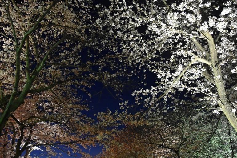 ヴェルニー公園の桜 6_d0065116_22443446.jpg