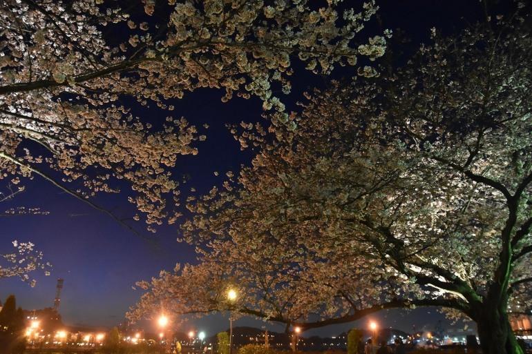 ヴェルニー公園の桜 6_d0065116_22481360.jpg