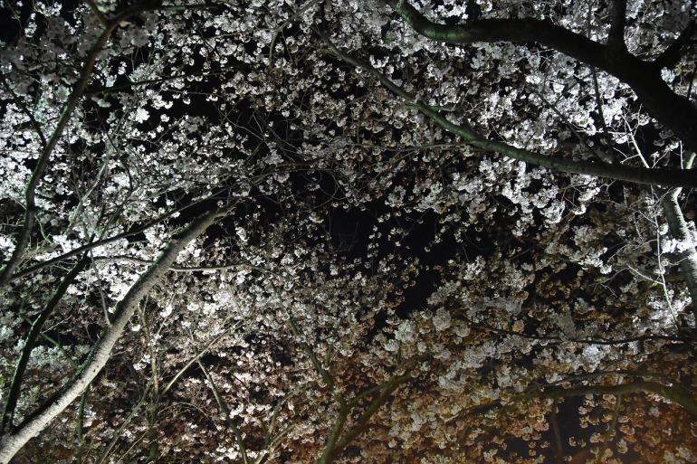 ヴェルニー公園の桜 6_d0065116_22485647.jpg
