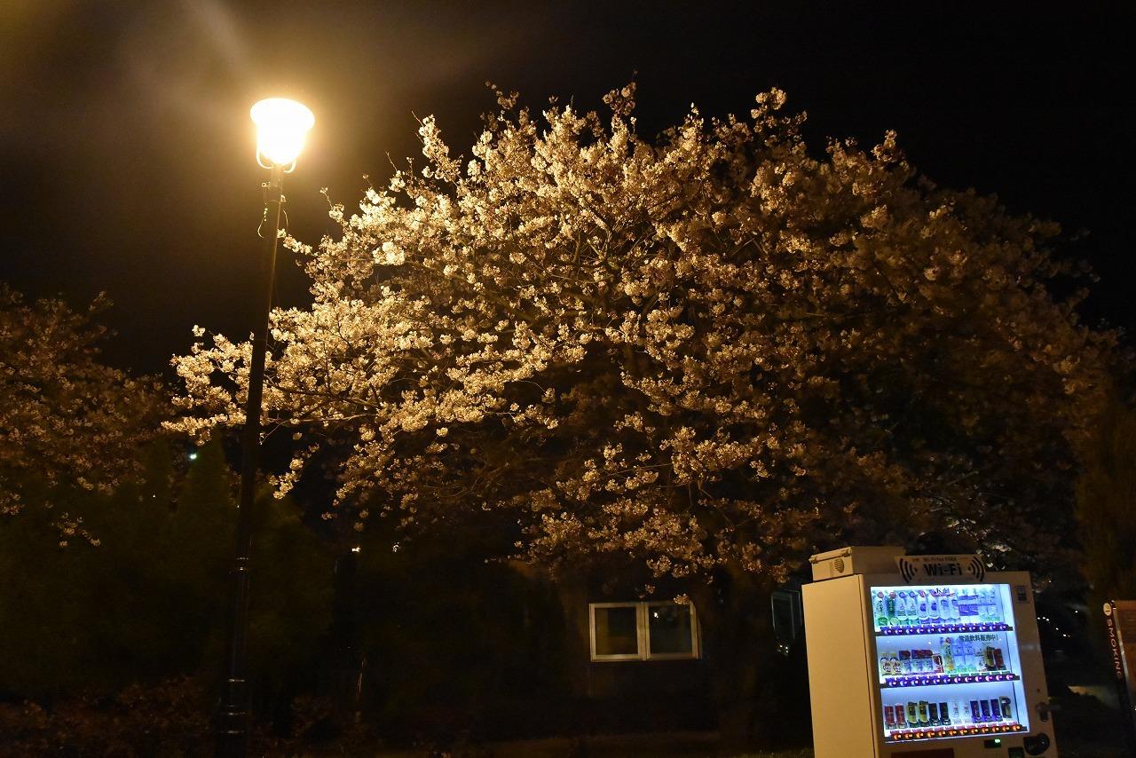 ヴェルニー公園の桜 6_d0065116_22492674.jpg