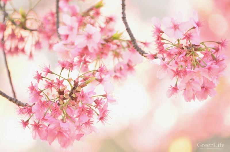 横浜の桜_f0321522_17262071.jpg