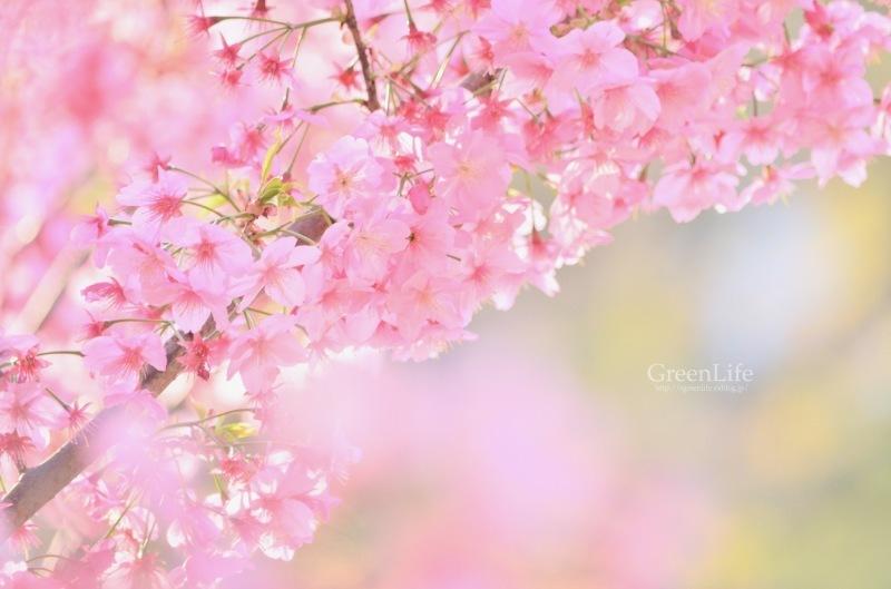 横浜の桜_f0321522_17262678.jpg