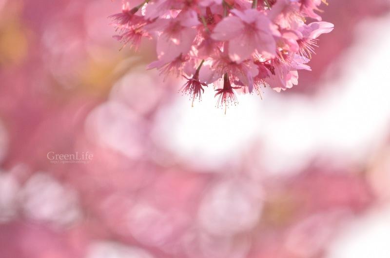 横浜の桜_f0321522_17263179.jpg