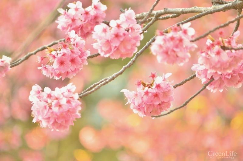 横浜の桜_f0321522_17264331.jpg