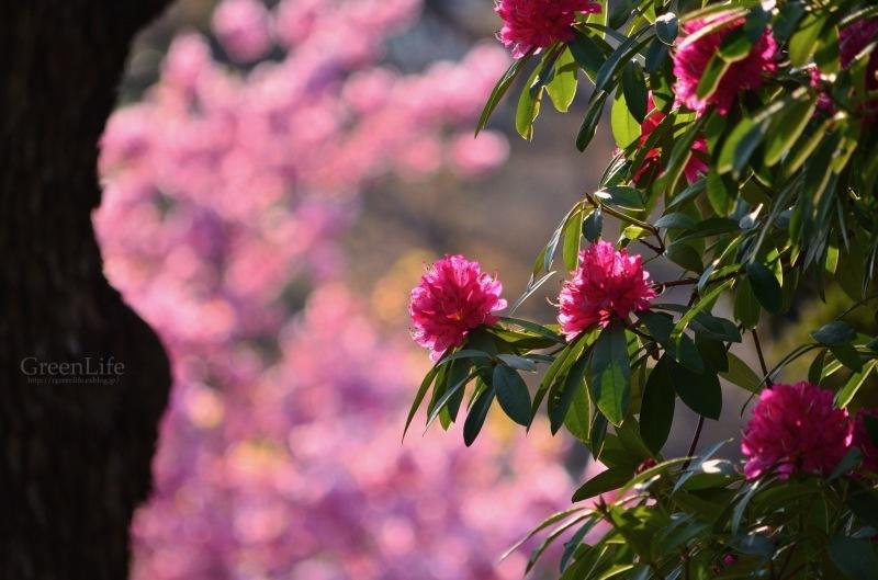 横浜の桜_f0321522_17265580.jpg