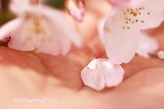 悲しい桜_a0264538_00301461.jpg