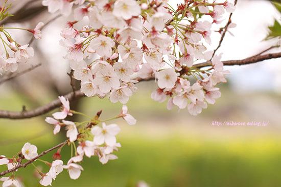 悲しい桜_a0264538_00382376.jpg