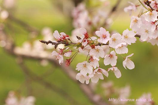 悲しい桜_a0264538_00433725.jpg