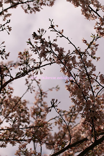 悲しい桜_a0264538_00563970.jpg