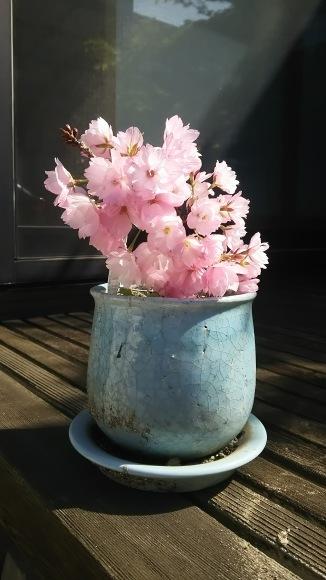 フラ&お花見日和🌸_b0356852_22492020.jpg