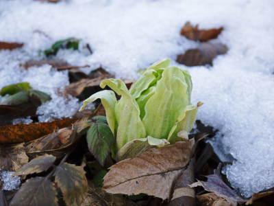 平成31年度の「天然たらの芽」予約受付スタート!!4月上旬からご予約順に発送します!_a0254656_18421617.jpg